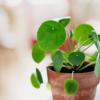 cocodema-bitki-plant-kokadema-yesil-cicek-tasarim-plea-para-bitkisi-moneyplant-pilea peperomioides
