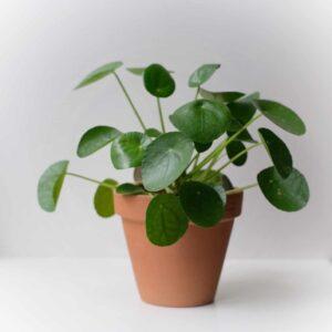 pilea peperomioides çin para bitkisi
