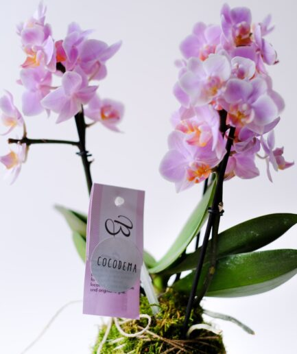 Capella Cocodema Kokedama Orkide
