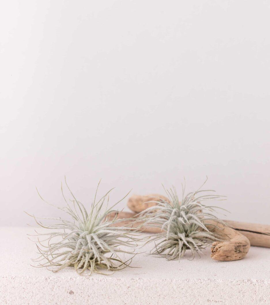 Tillandsia Tectorum Hava Bitkisi Airplant