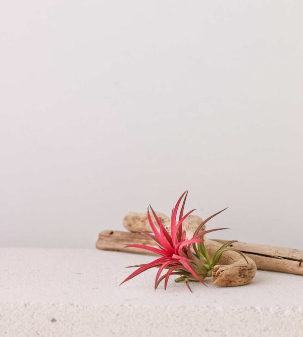 Tillandsia ionantha airplant hava bitkisi