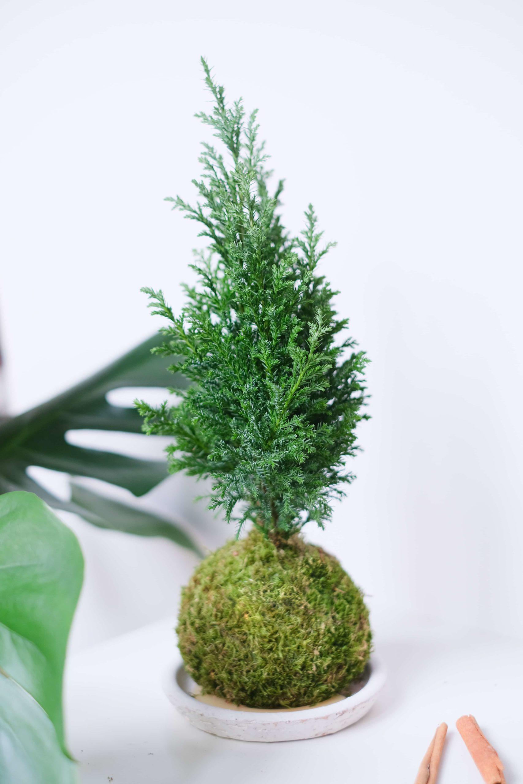 Pine Cocodema Elwodii Çam
