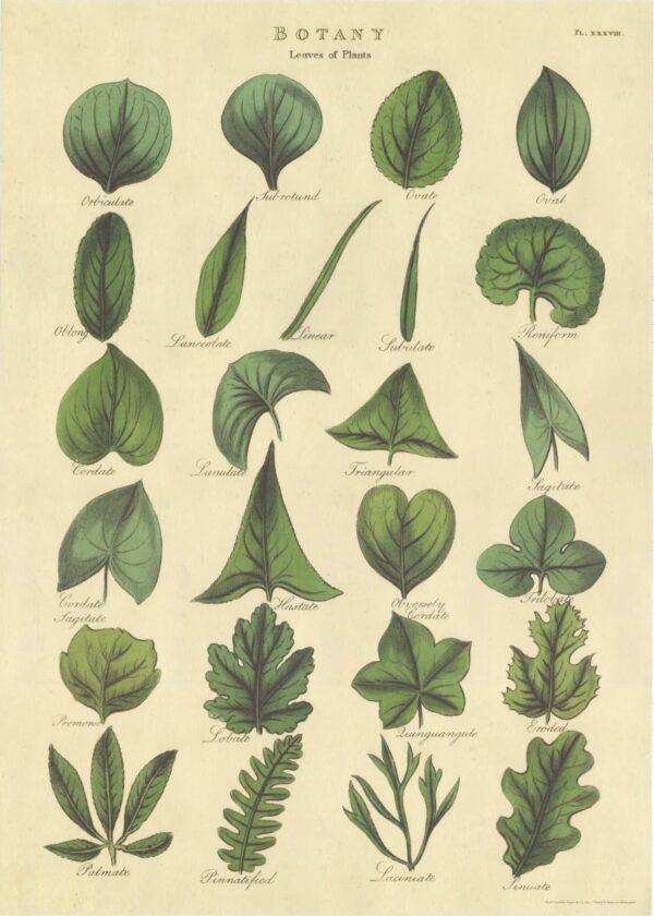 Leaves of Plants, Yaprak Tipleri Poster