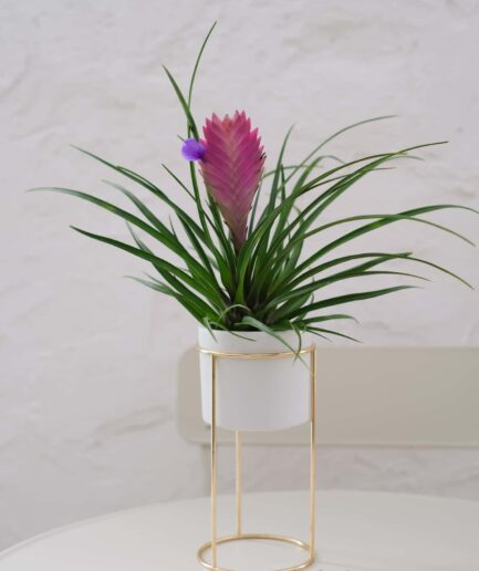 Tillandsia Cynaea Pink Quill