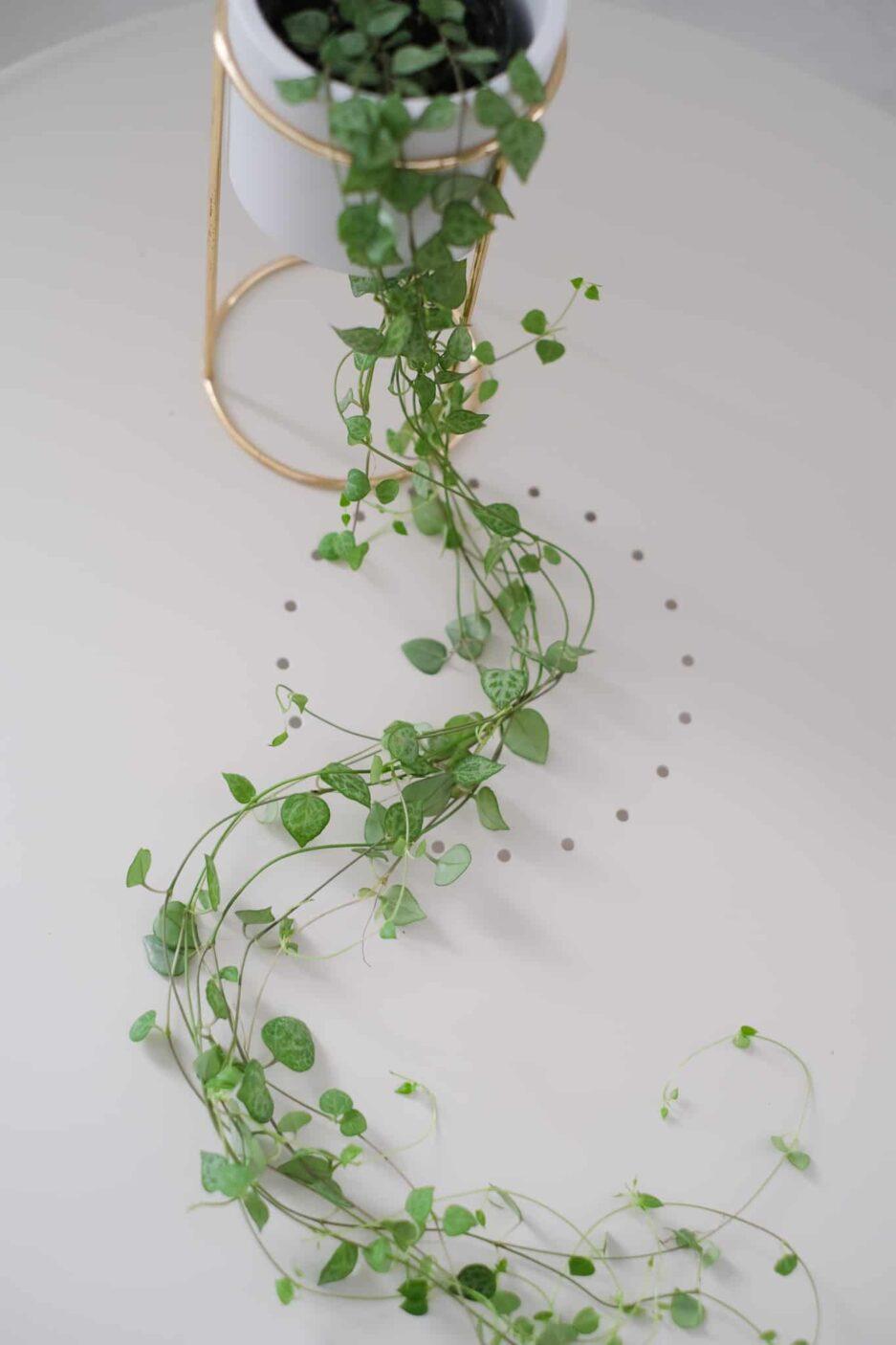 Ceropegia woodii , Kalp kalbe karşı çiçeği