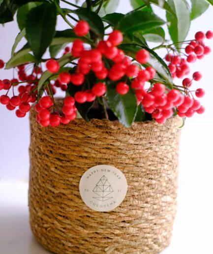Ardisia Crenata, Coral Berry, Christmas Berry, Mercan