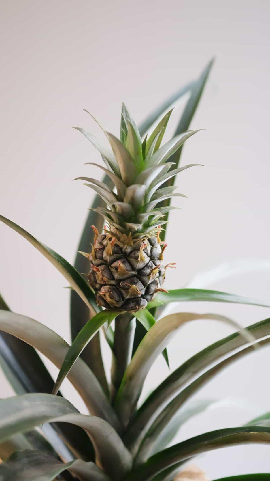 Pineapple Ananas Bitkisi
