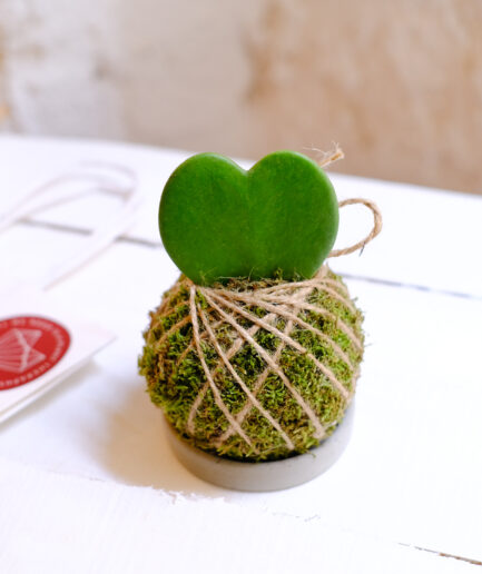 hoya kerii cocodema kalp bitkisi sukulent kaktüs kokedama