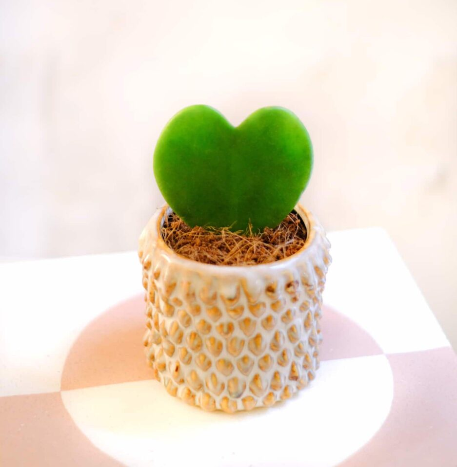 hoya kerii kalp bitkisi sukulent kaktüs