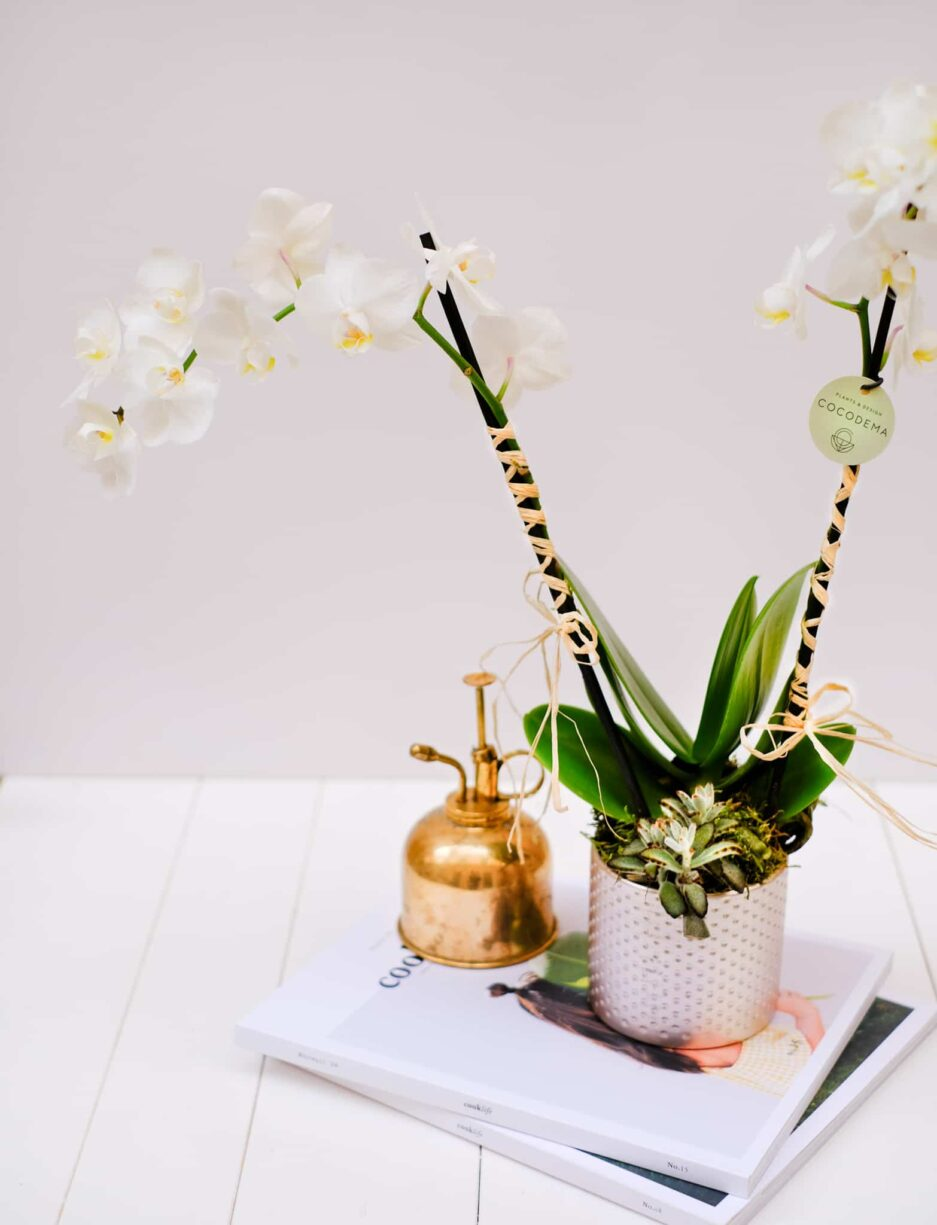 Phalaenopsis Chiyōda Orkide Orchid