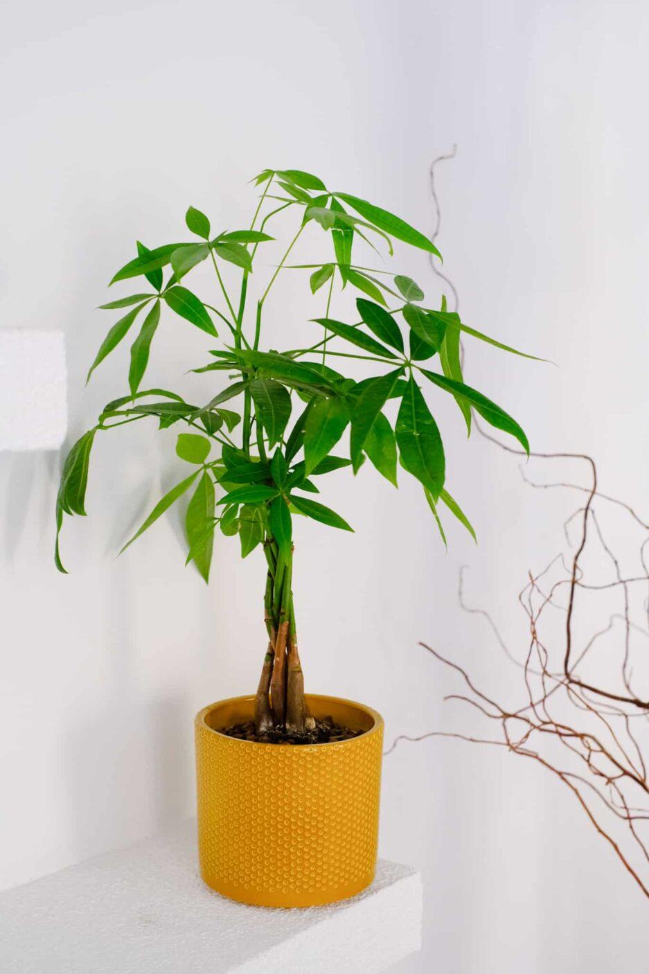 Pachira Aquatica (Para Ağacı) Bal-Sarı Saksılı