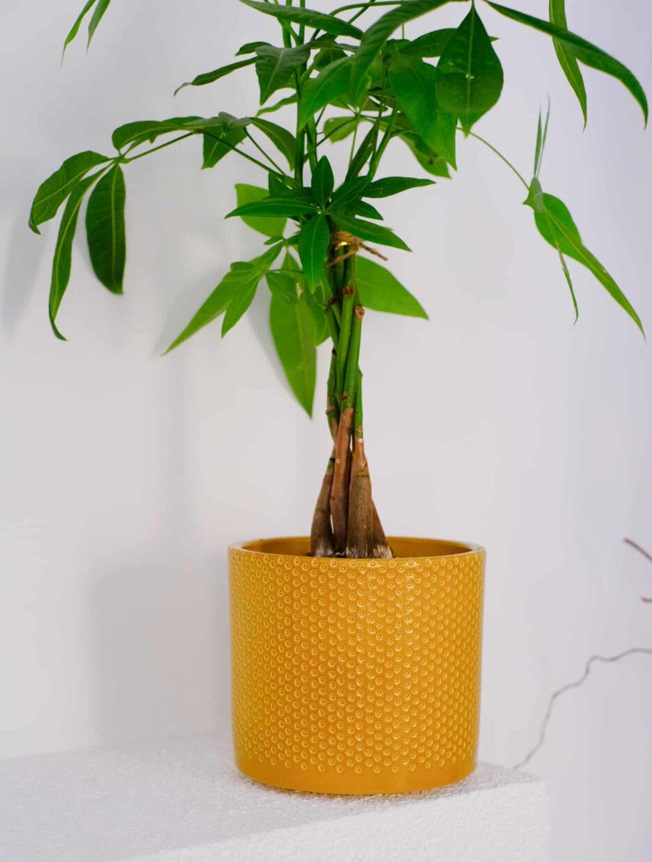 Pachira Aquatica (Para Ağacı) Bal-Sarı Saksılı Detay