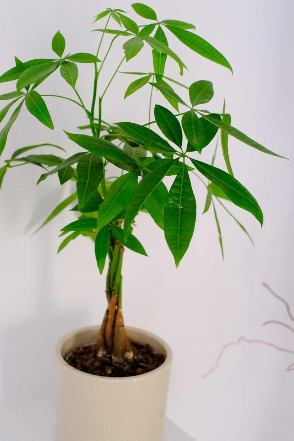 Pachira Aquatica (Para Ağacı) Mint Saksılı